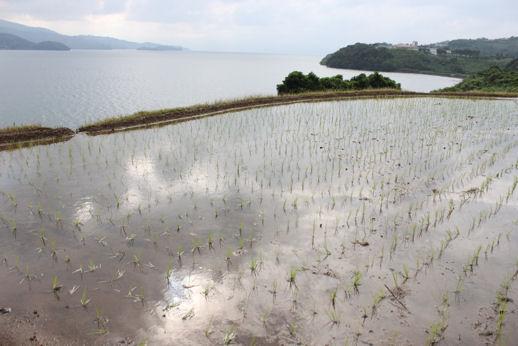 海辺の水田