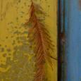メタセコイアの落ち葉