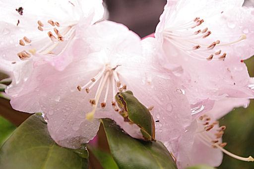 石楠花カエル