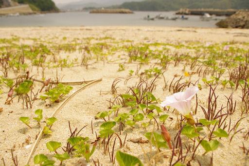 浜昼顔の浜