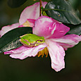 山茶花と蛙
