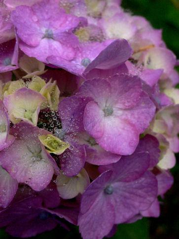 紫陽花ベール