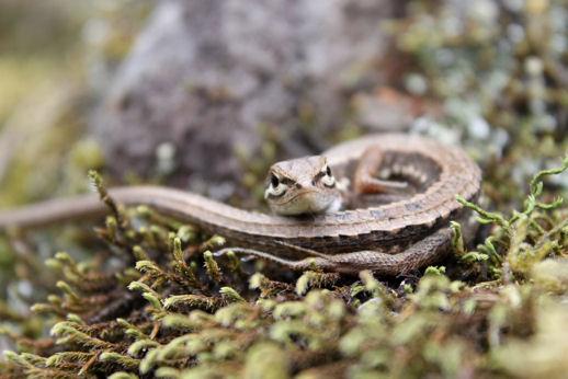 カナヘビ日向ぼっこ
