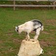 子山羊のダンス
